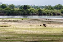 Pâturage d'hippopotames de fleuve de Rufiji Photographie stock