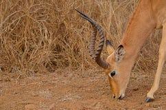 Pâturage d'impala photographie stock
