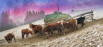 Pâturage dans une tempête de neige images stock