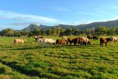 Pâturage de bétail photographie stock