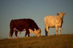 Pâturage de bétail image stock