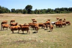 Pâturage de bétail Photo stock