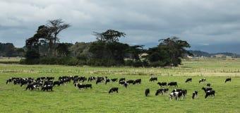 Pâturage de bétail Photographie stock libre de droits
