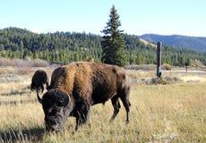 Pâturage de bison Photos stock