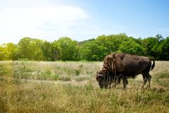 Pâturage de Buffalo de bison Photographie stock
