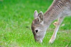 Pâturage de cerfs communs Photo libre de droits