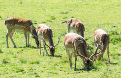 Pâturage de cerfs communs affrichés Photo libre de droits