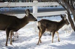 Pâturage de cerfs communs de mule image stock