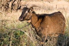 Pâturage de chèvre Photo stock