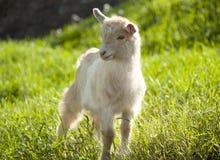 Pâturage de chèvre Images libres de droits