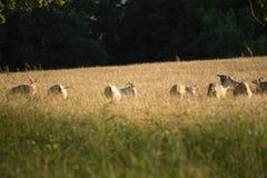 Pâturage de chèvres sauvages Photographie stock libre de droits