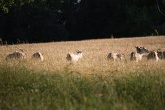 Pâturage de chèvres sauvages Image libre de droits