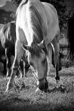 Pâturage de cheval Photos libres de droits