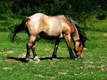Pâturage de cheval Images stock