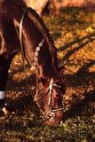 Pâturage de cheval au coucher du soleil photos libres de droits