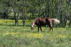 Pâturage de cheval de Brown Images stock