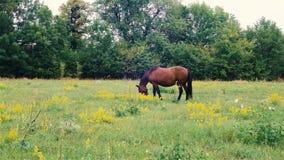 Pâturage de cheval de Brown extérieur Beau cheval dans le pâturage banque de vidéos