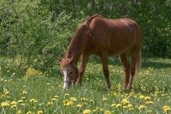 Pâturage de cheval de châtaigne Photographie stock libre de droits