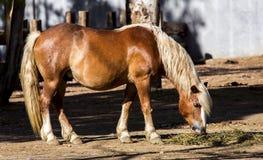 Pâturage de cheval de Haflinger Photo stock