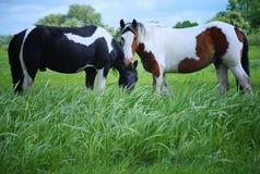 Pâturage de cheval de Pinto Image stock