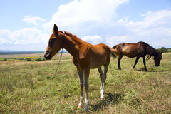 Pâturage de cheval et de poulain photographie stock libre de droits