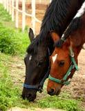Pâturage de chevaux Images stock