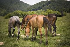 Pâturage de chevaux photo stock