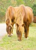Pâturage de deux chevaux Photo libre de droits
