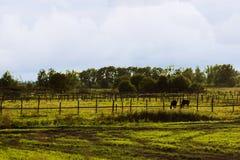 Pâturage de deux chevaux de châtaigne Image stock