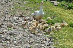 Pâturage de famille d'oie Photos libres de droits