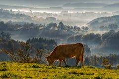Pâturage de galega de rubia de veau Images libres de droits