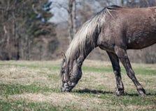 Pâturage de Gray Horse Photo stock