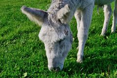 Pâturage de l'âne Photo stock