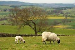 Pâturage de la brebis avec l'agneau Photos stock