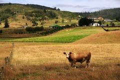 Pâturage de la vache Photographie stock