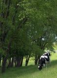 Pâturage de la vache Photo libre de droits