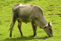 Pâturage de la vache Photo stock