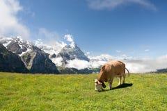 Pâturage de la vache dans les Alpes image stock