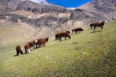 Pâturage de la vache dans un pré alpin dans les montagnes du Caucase Images stock