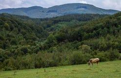 Pâturage de la vache en montagnes Photos stock