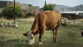 Pâturage de la vache sur un pré de montagne banque de vidéos