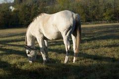 Pâturage de matin de cheval blanc photographie stock libre de droits