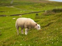 Pâturage de moutons Images stock