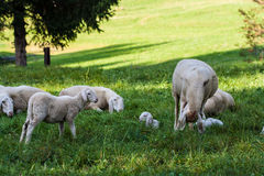 Pâturage de moutons Photo stock
