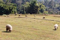 Pâturage de moutons Image stock