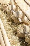 Pâturage de moutons Photos libres de droits