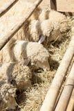 Pâturage de moutons Photos stock