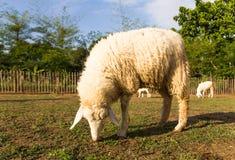 Pâturage de moutons   dans la ferme Images libres de droits