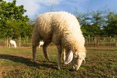 Pâturage de moutons   dans la ferme Photo stock