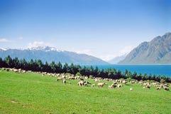 Pâturage de moutons de la Nouvelle Zélande Photographie stock